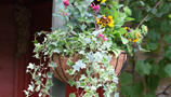 Hanging Baskets (23)